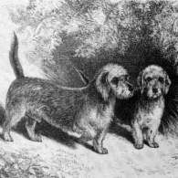 Mr J. Locke's Dandie Dinmonts 'Doctor' and 'Tib Mumps' (circa1878)