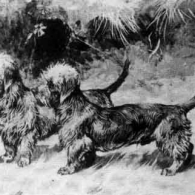 Dandie Dinmont Terrier of 1900 as delineated by artist Arthur Wardle